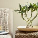 wohnzimmer gestalten mit glücksbambus- glücksbambus bedeutung