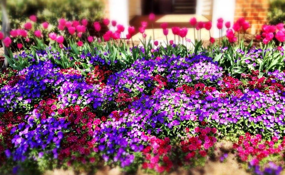 fantastische farbengestaltung im garten mit lila blumen und tulpen rosafarbig