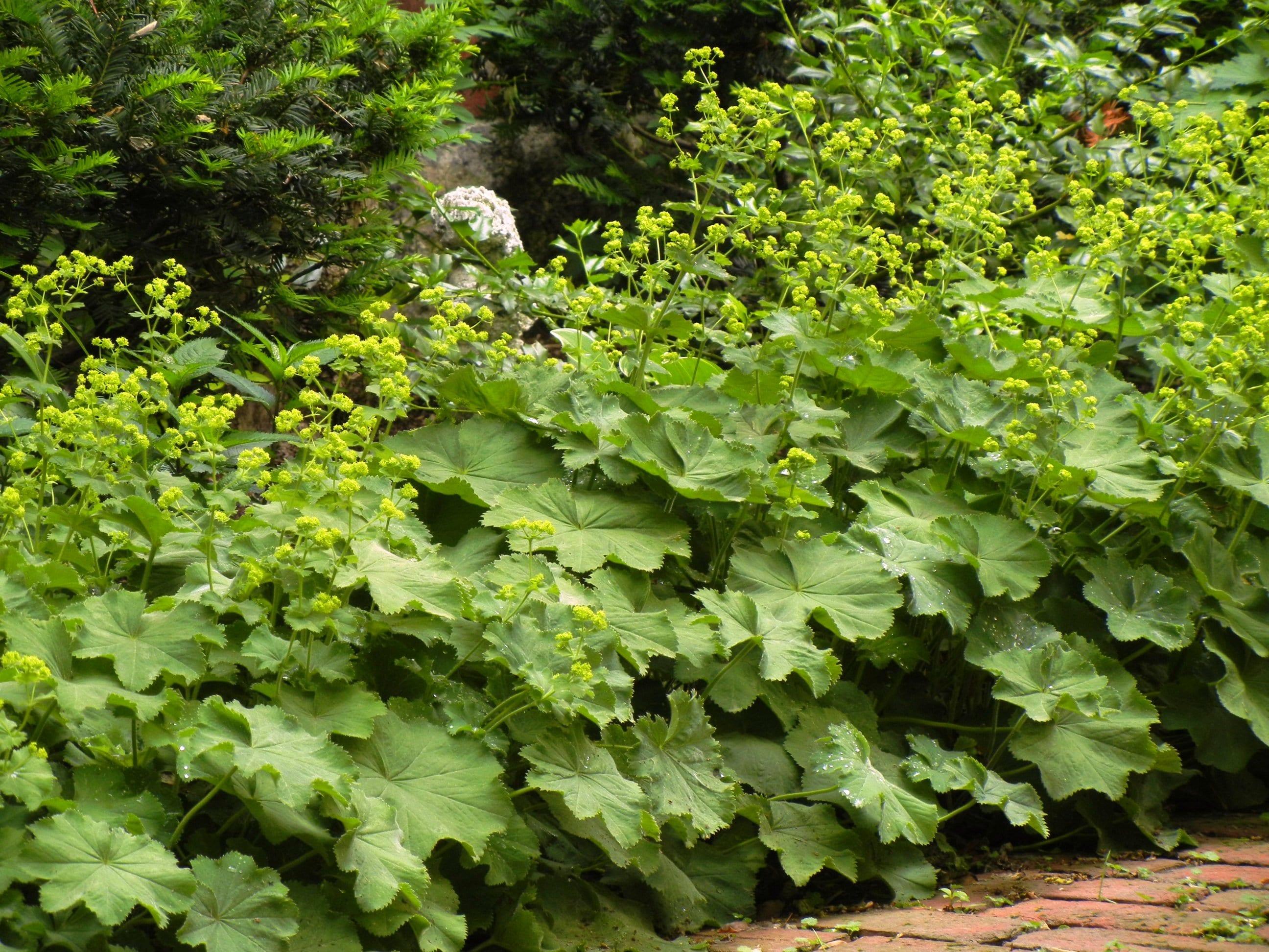 grüne pflanzen für Gartengestaltung im Bauerngarten