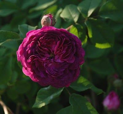 rosen für den bauerngarten gestaltung