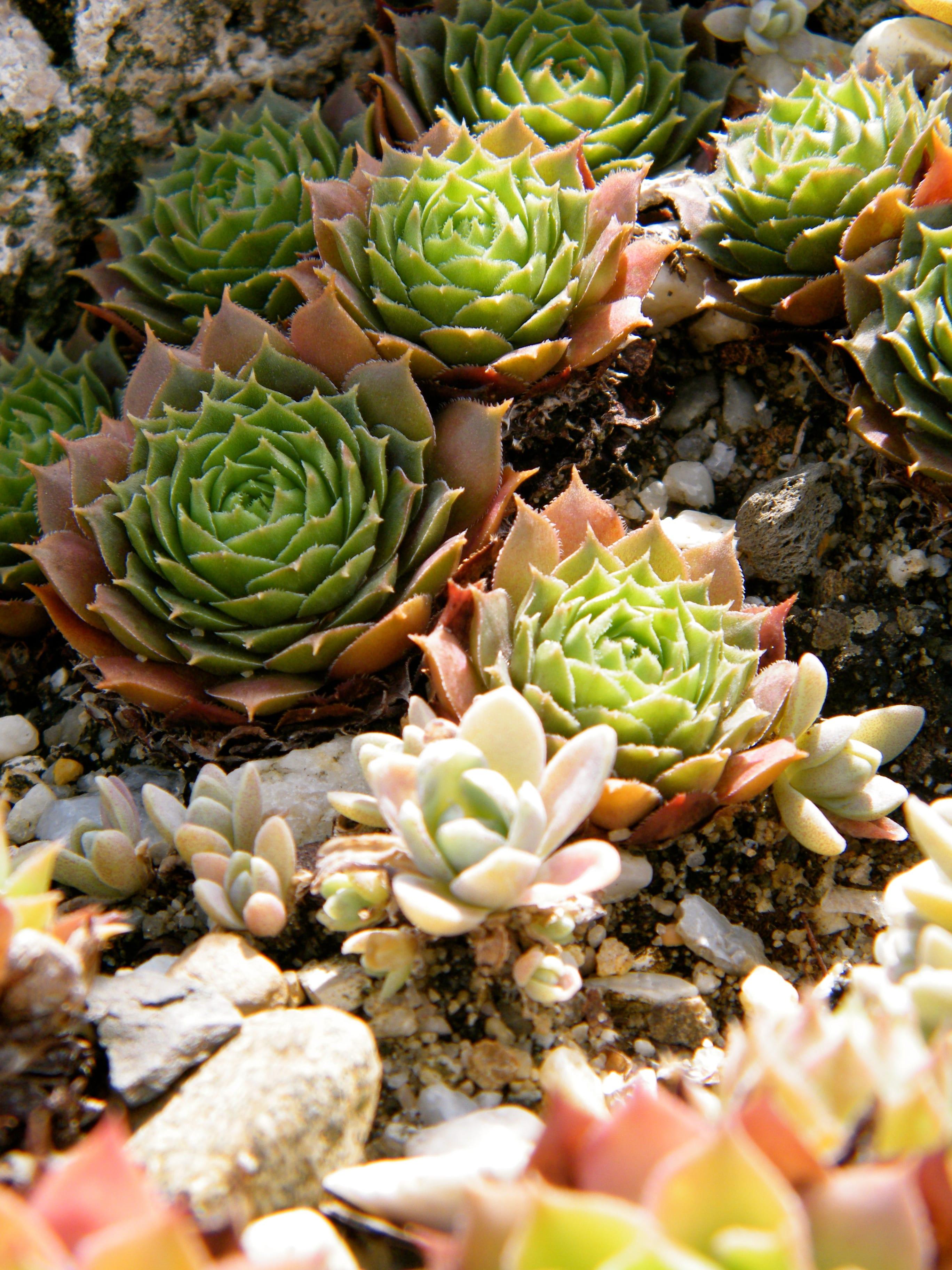 terrarium und steingarten dekorieren mit Hauswurzen