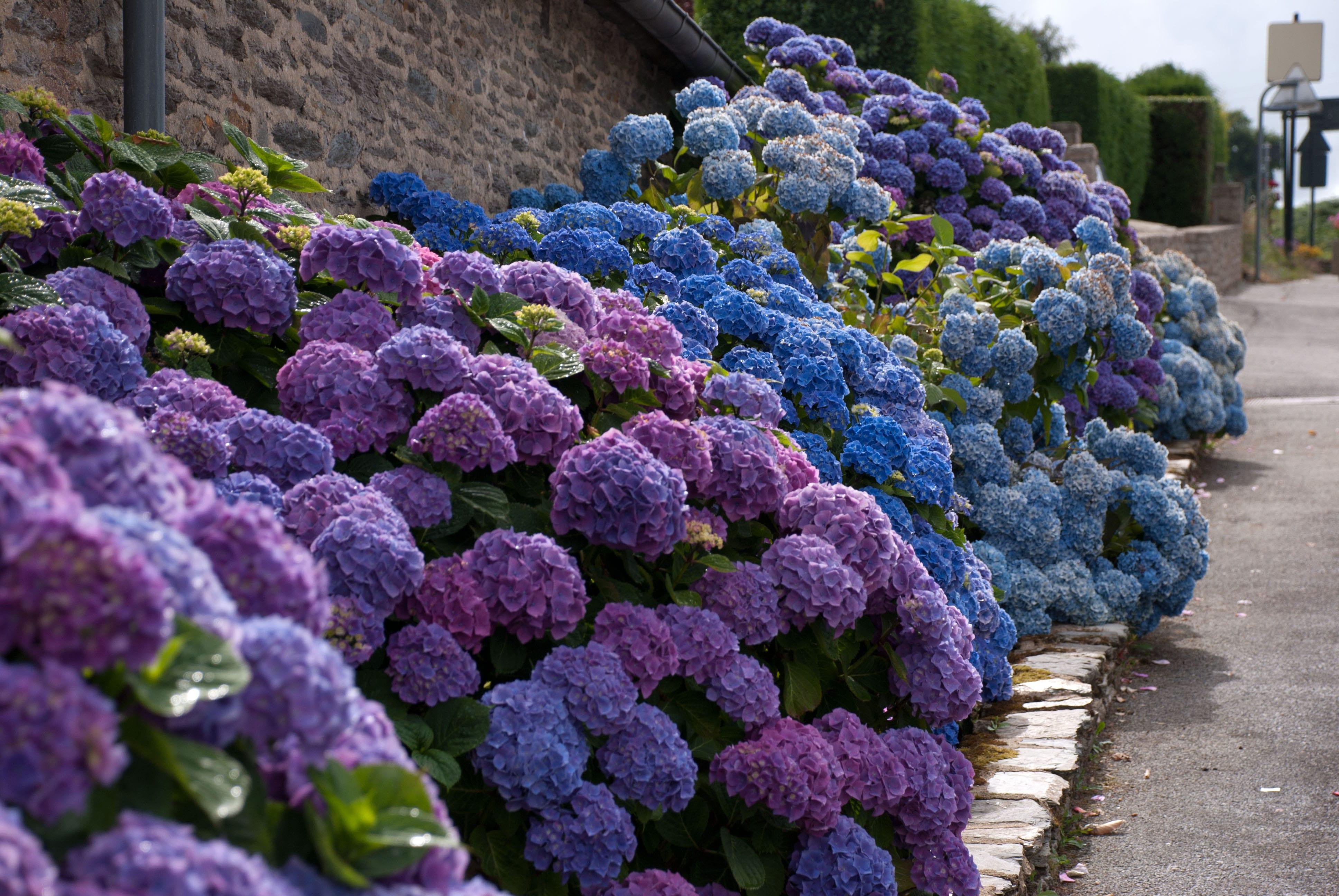lila und blaue hortensien für schöne gartengestaltung