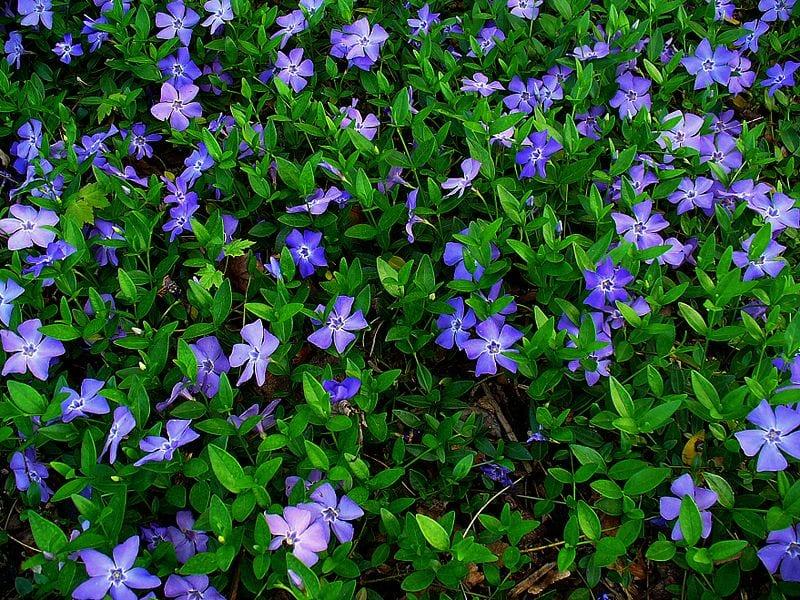 bodendecker für gartengestaltung mit zarten blauen Blüten