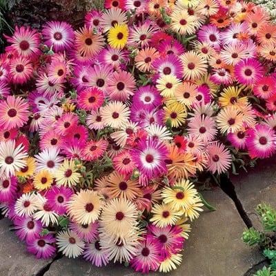 Kokardenblumen für bunte Gartenschau im Garten