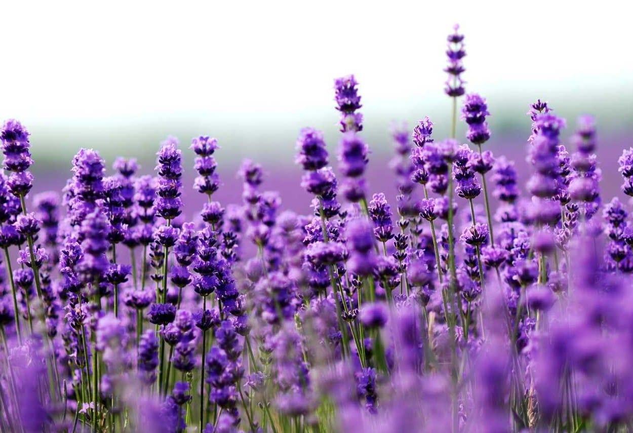baugarten anlegen mit lilafarbigen lavendel blumen