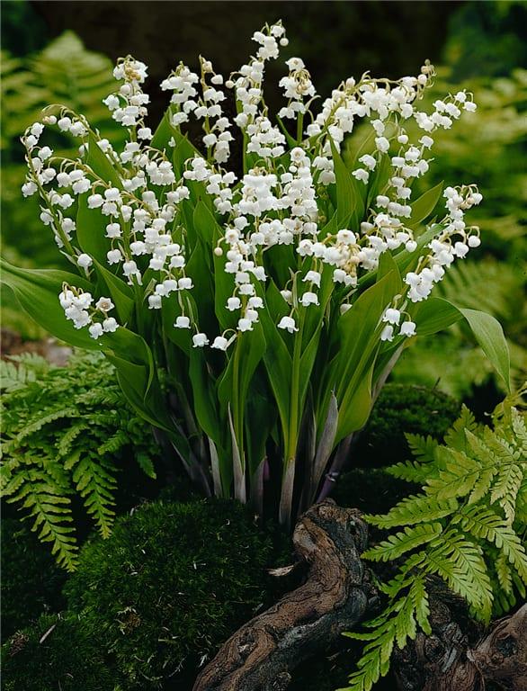 Frühlingsblumen für den Garten