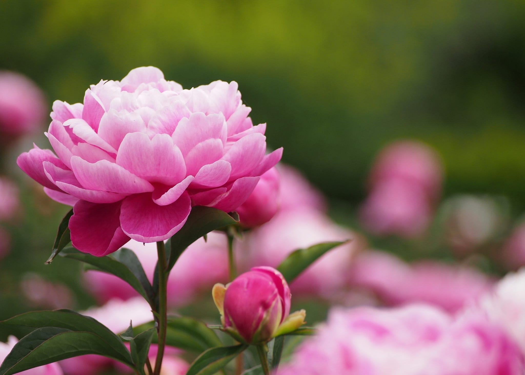 rosafarbige cottagegarten blumen