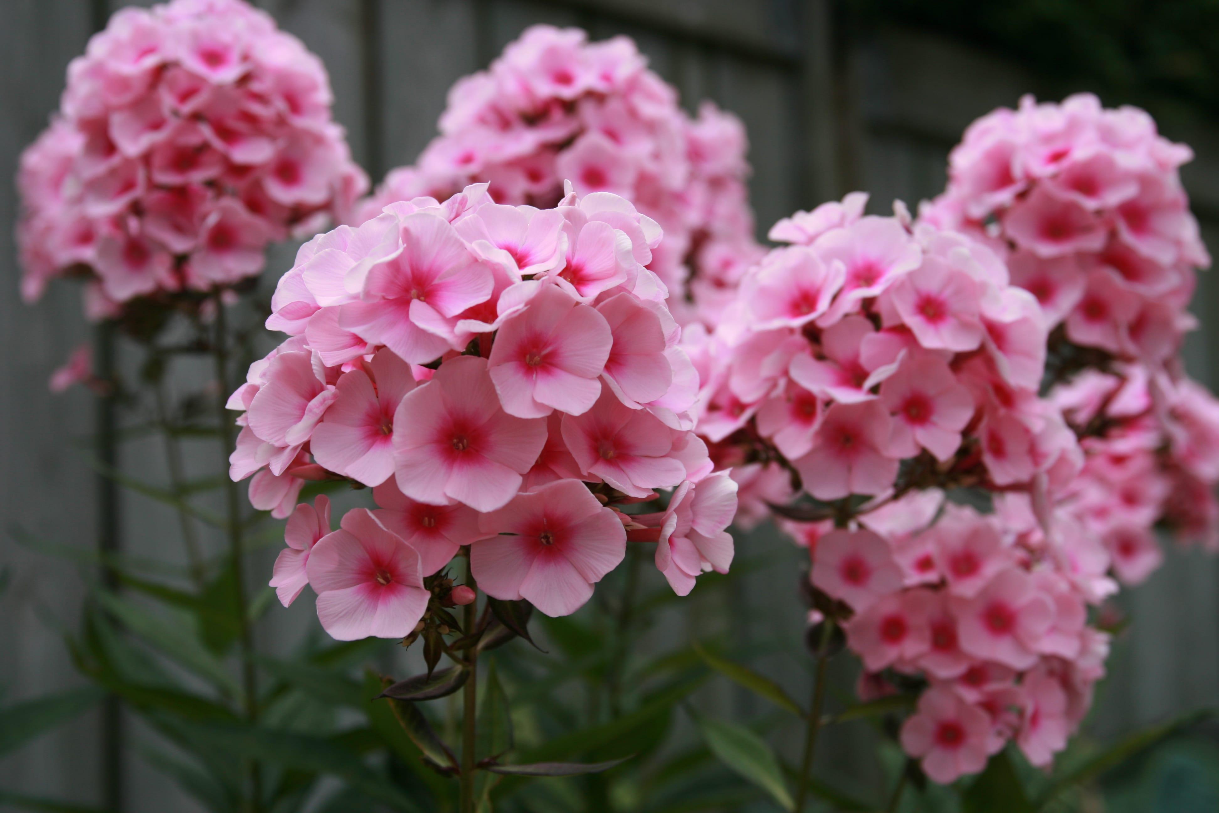 33 blumensorten für den bauerngarten - freshouse - Garten Blumen Blau