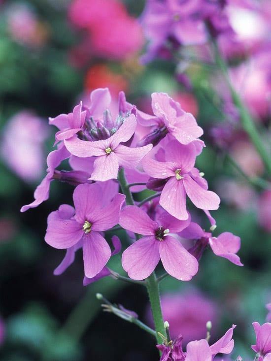 bauerngarten gestalten mit cottage garden blumen in lila und weiß