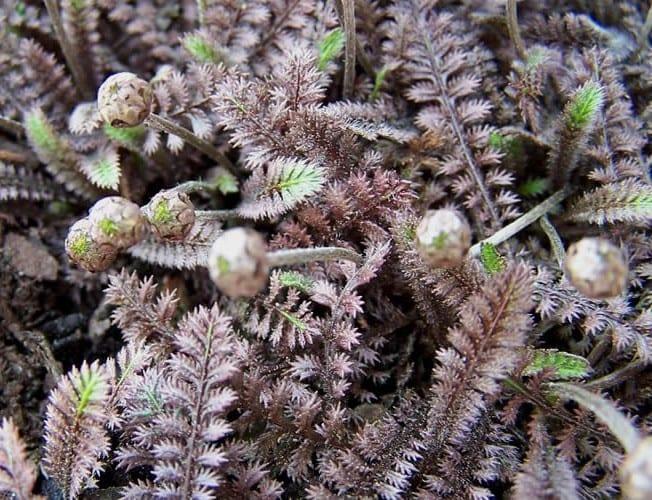bodendeckerpflanzen für gartengestaltung im frühling