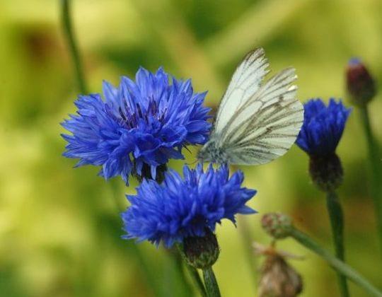 blaue zierpflanzen als schöne gartenidee für gartenlanschaft gestaltung