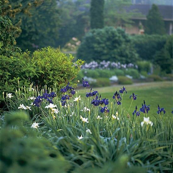 Iris blumen in weiß und blau für perfekte Bauergarten Gestaltung