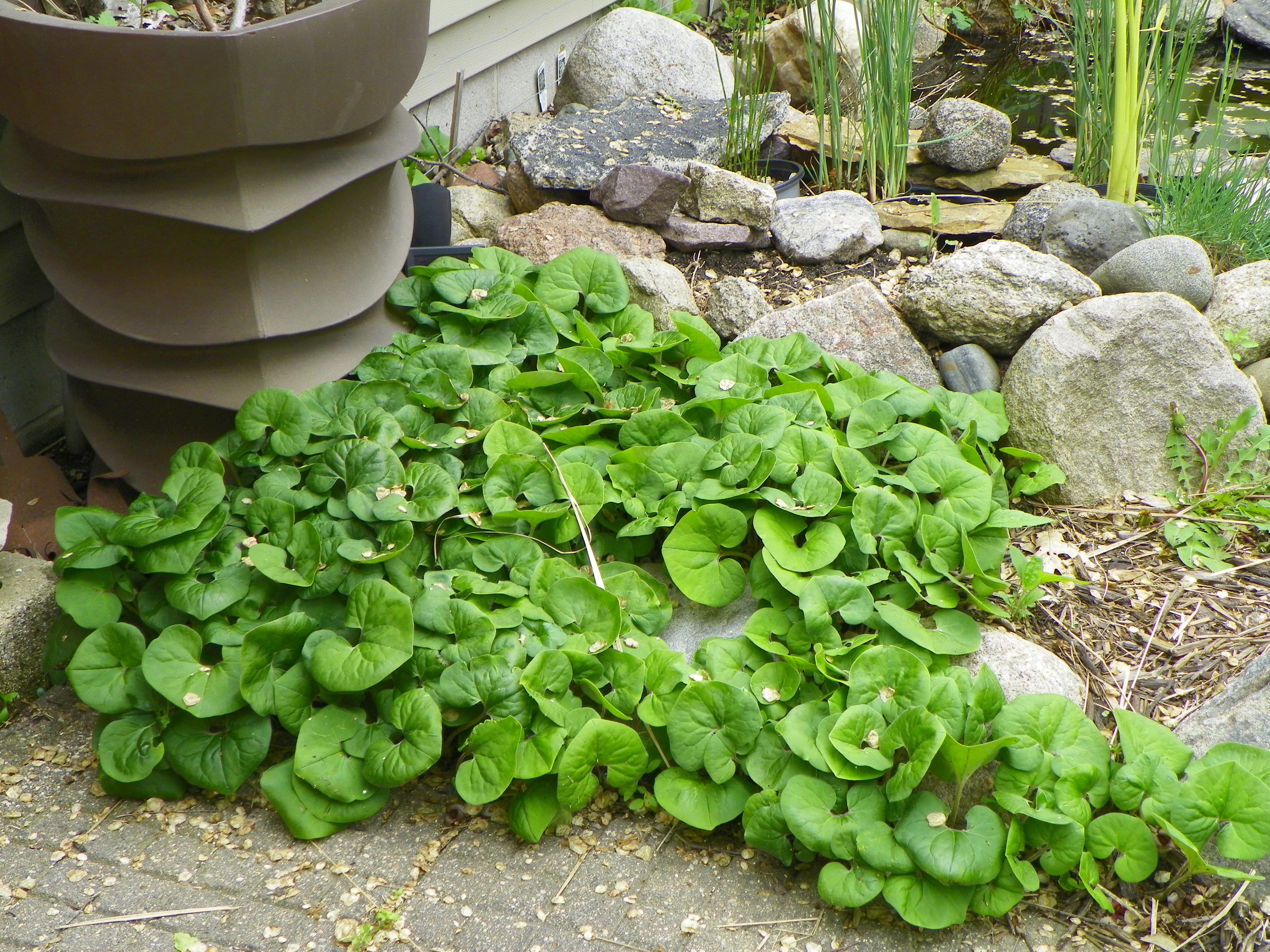 gartengestaltung mit immergrünen Pflanzen
