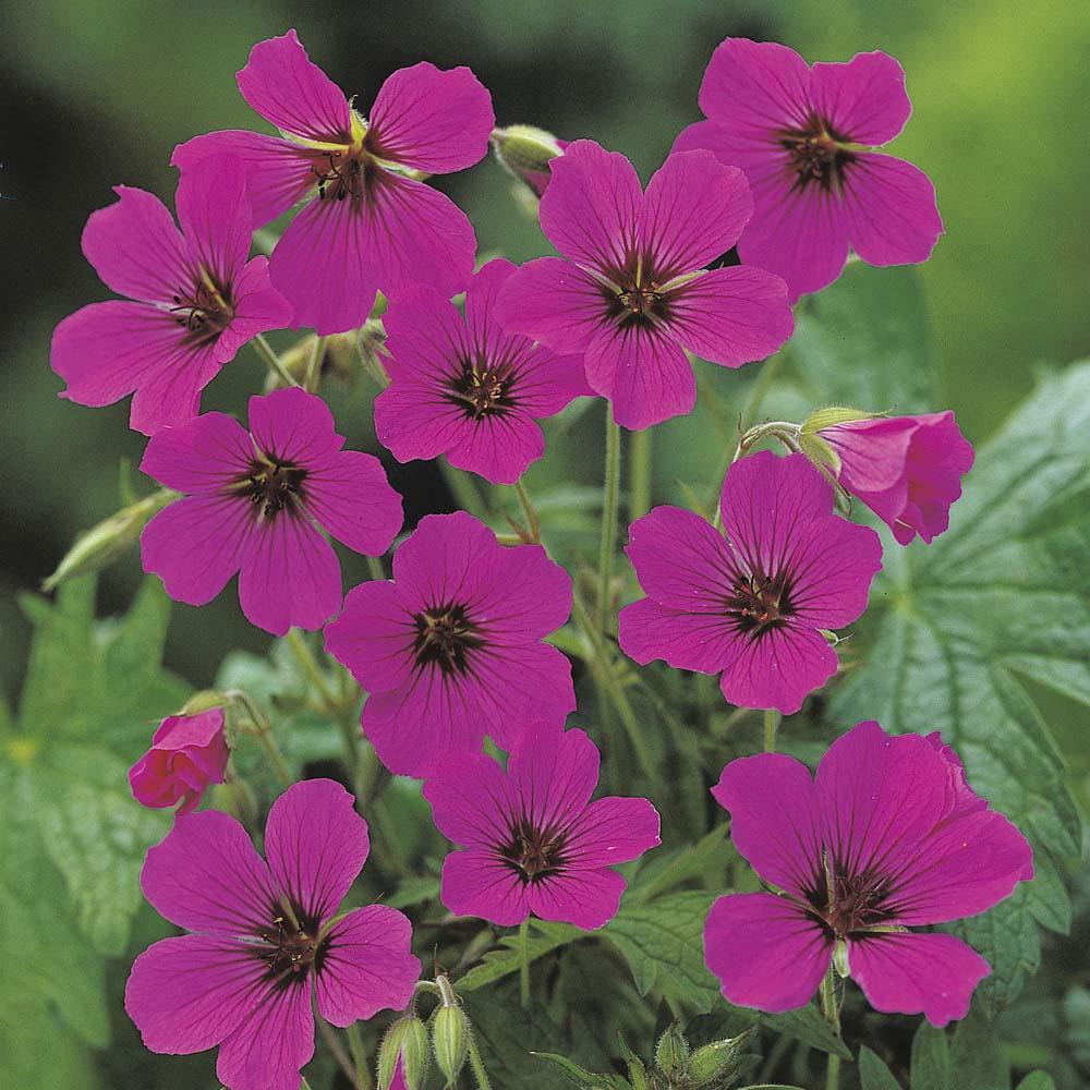 gartenlanschaft mit cottage garden flowers
