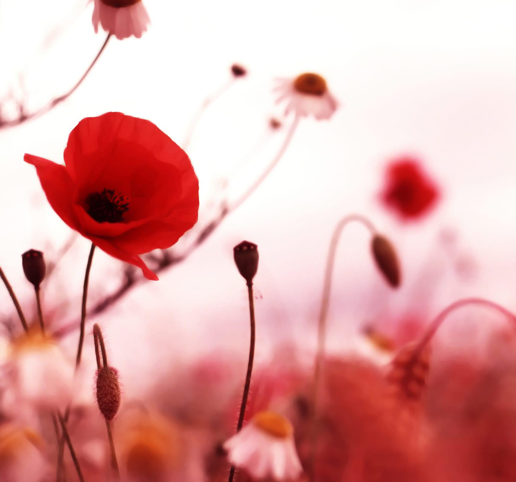 bauerngarten gestalten mit mohnblumen
