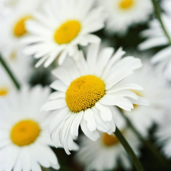 bauerngarten gestalten mit weißen cottage garden blumen
