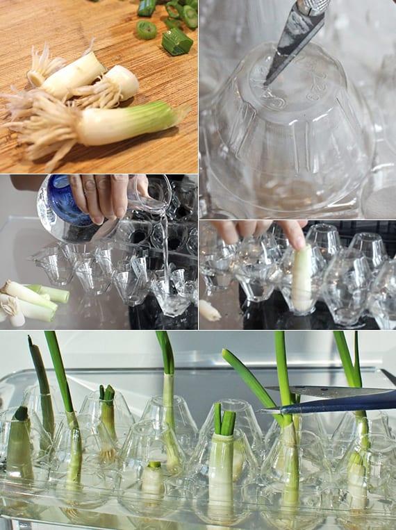 diy urban garden_frischer frühlingszwiebel auf der fensterbank wachsen lassen