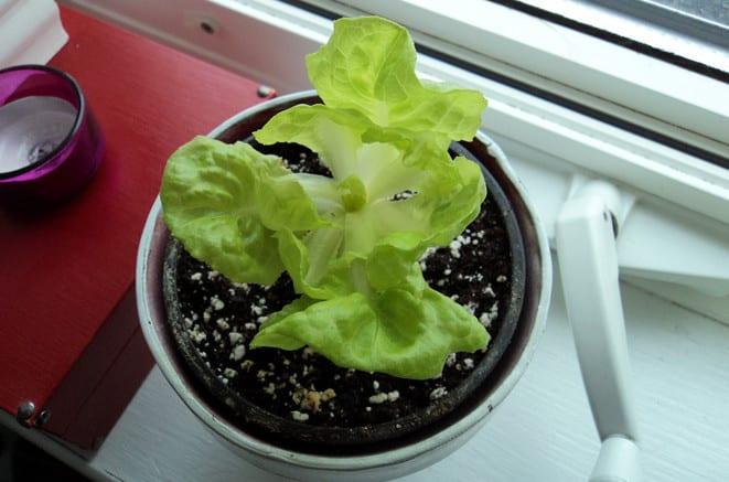 fensterbank dekorieren mit salat-pflanzen
