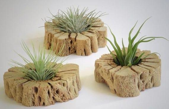 coole dekoideen mit Tillandsie auf Holz als beispiel für bepflanzung in ungewöhnlichen Pflanzengefäßen