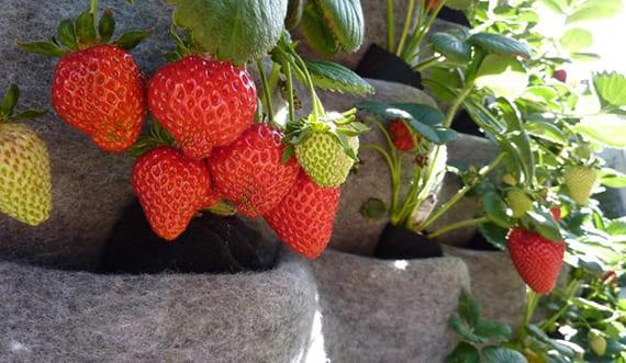 Ganz und zu Extrem Erdbeeren pflanzen in DIY Containers - so geht's! - fresHouse &PG_93