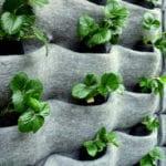 erdbeeren pflanzen als essbare dekoration für gärten und balkon