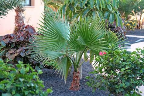 exotische pflanzen wie palmen im gartenanlage anbauen
