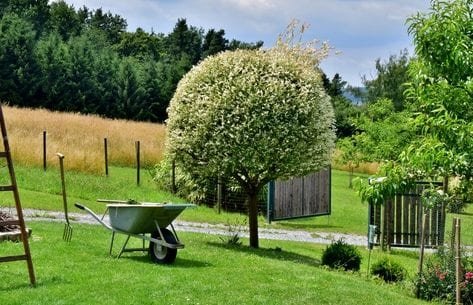 welche exotische pflanzen sind winterhart und passend für den heimischen garten_strauch im garten mit kugelförmigem schnitt