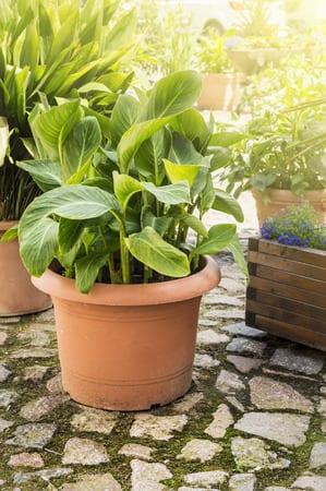 exotische Gartengestaltung mit Bananenpflanze im Topf