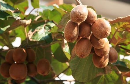 coole ideen für eigene gartenoase mit exotischem Kiwibaum_passende exotische pflanzen für den garten