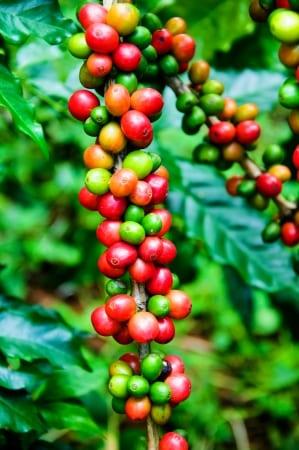 Kaffeebaum mit roten und grünen Kaffeebohnen als exotische pflanze für exotische gartengestaltung