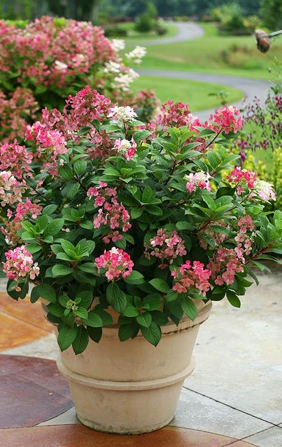 hortensie als passende blütenhecke für pflanzenkübel