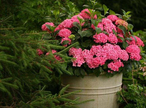 gartendeko mit rosafarbiger hortensie im kübel