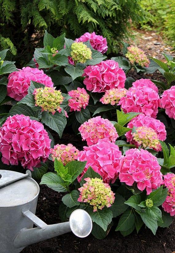 blaue und rosafarbige hortensien im kübel für wunderschöne terrassengestaltung