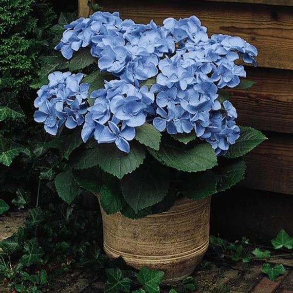 gartenlandchsft beleben mit blauer Hortensie im Blumentopf