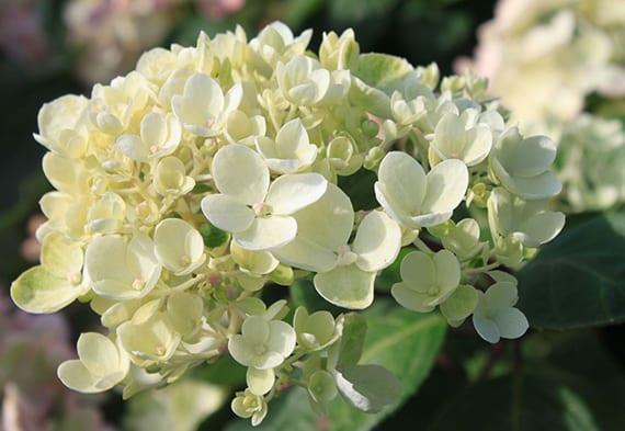 weiße hortensie mit großen kugelförmigen Dolden