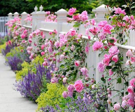weißer gartenzaun aus holz dekorieren mit rosafarbigen rosen, lavendel und hellgrunen pflanzen