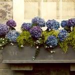 die Schönheit der Hortensien als Topfpflanze für belebende terrassengestaltung und fensterdekoration