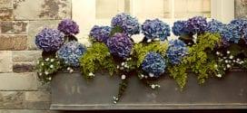 Welche Hortensien können Sie im Kübel wachsen lassen