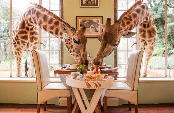 luxushotel in kenia, in dem zusammen mit Rothschild-Giraffen gefrühstückt wird