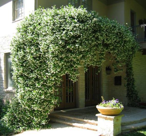 fantastische Gartenidee für natürliche Gartengestaltung und Fassadendekoration mit weißem Duft-Jasmin
