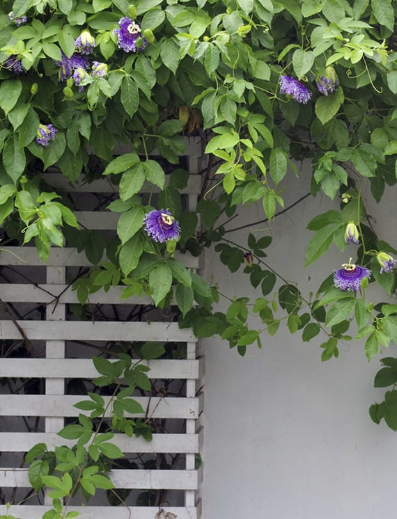 den Garten zum Bewundern gestalten mit eksotischen Passionsblumen in blau